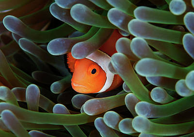Clown Fish Photograph - Eternal Theme by Nature, underwater and art photos. www.Narchuk.com