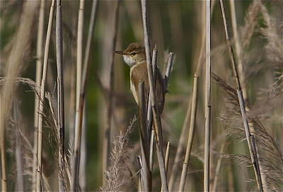 Warbler Mixed Media - Eurasian Reed-warbler by Ole Martin Olsen