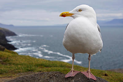 European Herring Gull Larus Argentatus Print by Trish Punch