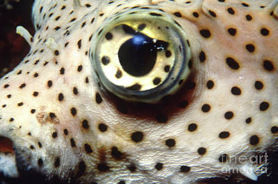Porcupine Fish Photograph - Extreme Close-up Of A Pufferfish Eye by Beverly Factor