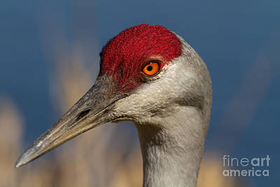 Crane Photograph - Eye'n You by Beve Brown-Clark Photography