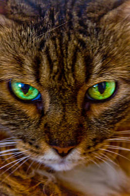 Pet Photograph - Eyes Of The Tiger by Nadya Ost
