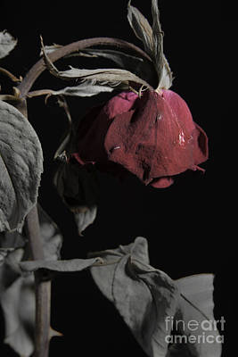 Faded Love Wilted Rose On Black Print by M K  Miller