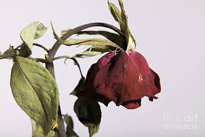 Faded Love Wilted Rose On White Print by M K  Miller
