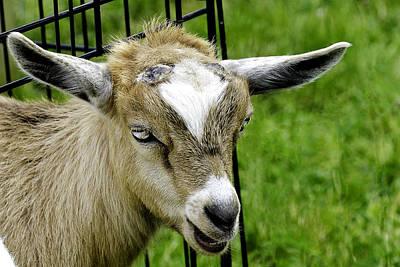 Kids Photograph - Fainting Baby Goat Telling Me His Story by LeeAnn McLaneGoetz McLaneGoetzStudioLLCcom