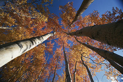 Fall Aspen Trees Reach For The Sky Print by George F. Herben