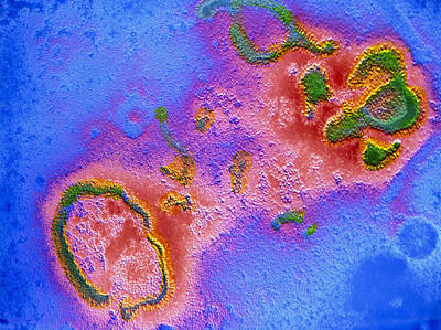 False-col Tem Of Respiratory Syncytial (rs) Virus Print by Cnri