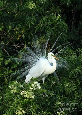 Egret Photograph - Fancy Feathers by Sabrina L Ryan