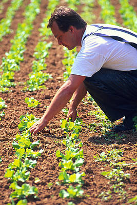Farmer Tending To Organic Lettuces (lactuca Sp.) Print by Mauro Fermariello