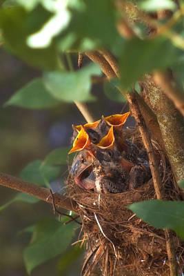 Oriole Photograph - Feeding Time by Joann Vitali
