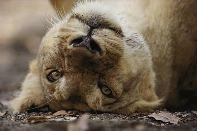 Gir Photograph - Female Asian Lion by Mattias Klum