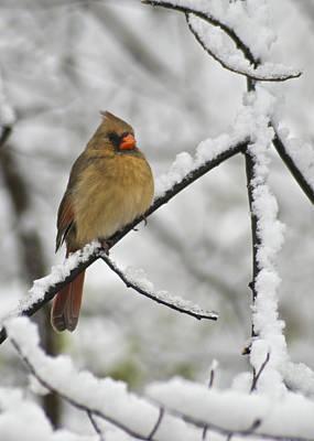 Cardinal Photograph - Female Cardinal 3656 by Michael Peychich