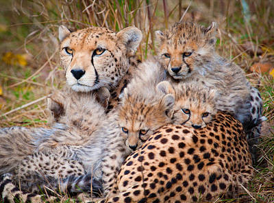 Y120831 Photograph - Female Cheetah And Cubs by Colin Carter Photography