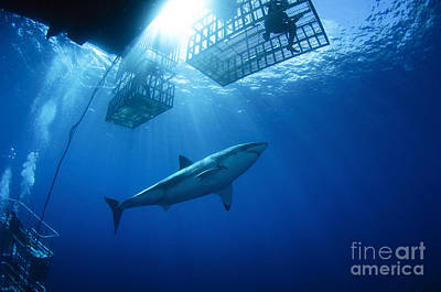 Female Great White With Cages Print by Todd Winner