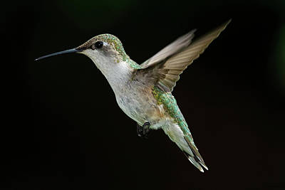 Female Hummingbird Print by DansPhotoArt on flickr