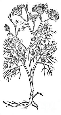 Fennel, Alchemy Plant Print by Science Source