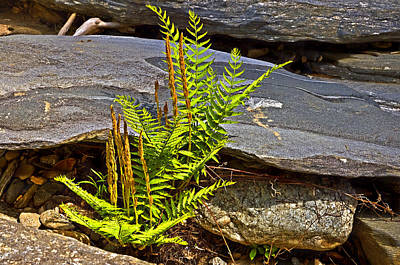 Fern And Rocks Print by Susan Leggett