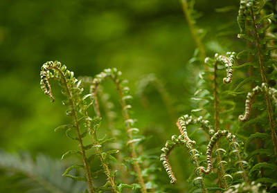 Ferns Fiddleheads Print by Mike Reid