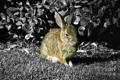 Rabbit Hunting Photograph - Ferocious Bunny by Mariola Bitner