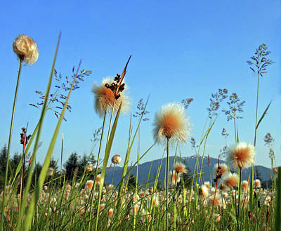Large Group Of Objects Photograph - Field Of Cotton Grass In Alaska. by Dagny Willis