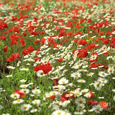 Abundance Photograph - Field Of Daisies And Poppies. by Bernard Jaubert