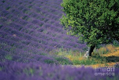 The Plateau Photograph - Field Of Lavender by Bernard Jaubert