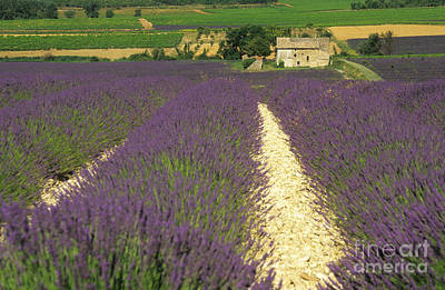 Field Of Lavender. Drome Print by Bernard Jaubert
