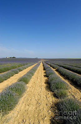 Field Of Lavender. Valensole Print by Bernard Jaubert