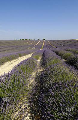 Field Of Lavender. Valensole. Provence Print by Bernard Jaubert
