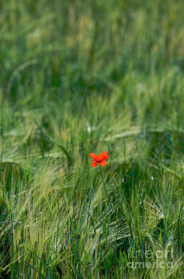 Field Of Wheat With A Solitary Poppy. Print by Bernard Jaubert