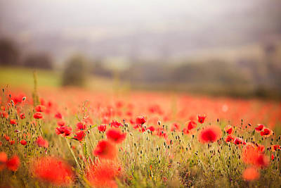 Fields Of Wild Poppies Print by Olivia Bell Photography