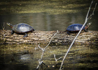 Fighting Pond Turtles Print by LeeAnn McLaneGoetz McLaneGoetzStudioLLCcom