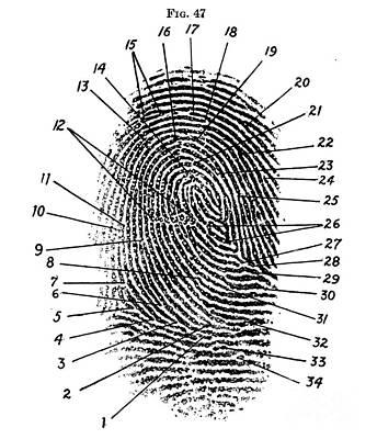 Fingerprint Diagram, 1940 Print by Science Source