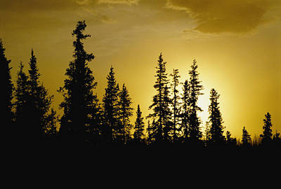 Fir Trees Silhouetted In Early Morning Print by George F. Mobley