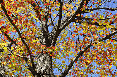 Flutter Photograph - Fire Maple by Luke Moore