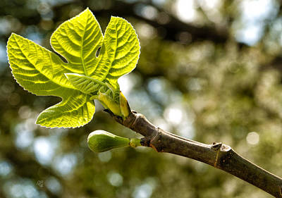 Photograph - First Leaves And Fig  by Barbara Middleton