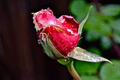 First Rose Print by Bill Owen