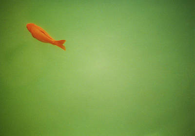 Goldfish Photograph - Fish In Green by Lynn Koenig