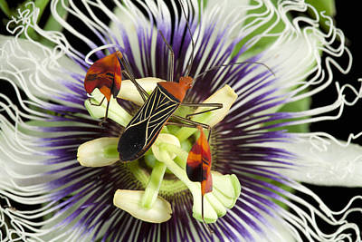 Passionflower Photograph - Flag-footed Bug Anisocelis Flavolineata by Christian Ziegler