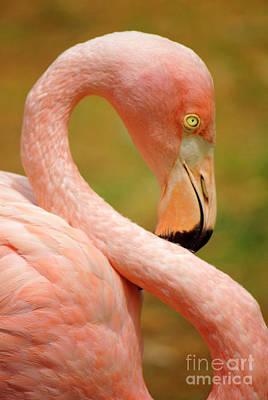 Flamingo Print by Carlos Caetano