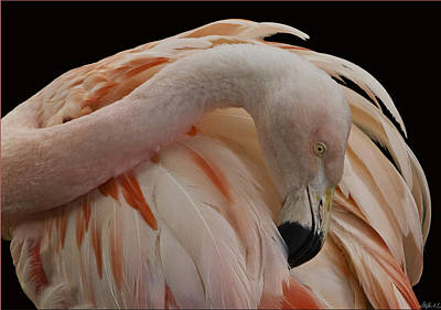 Photograph - Flamingo In Inverted 4th Postion by Stephen EIS