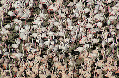 Flock Of Bird Photograph - Flamingos by Original Artworks by Grooveworks (Flickr name - jules_art)