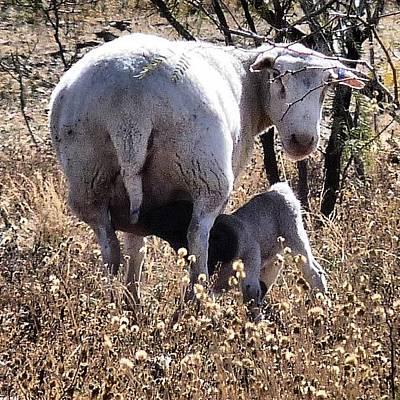 Sheep Photograph - #flock #sheep #lamb #ranch #texas by J Z