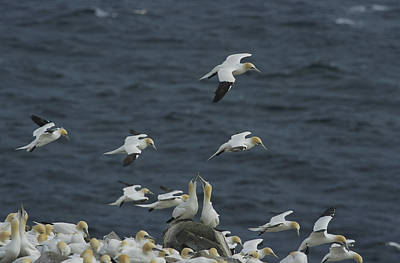 Flocks Of Northern Gannets Roost Print by Norbert Rosing