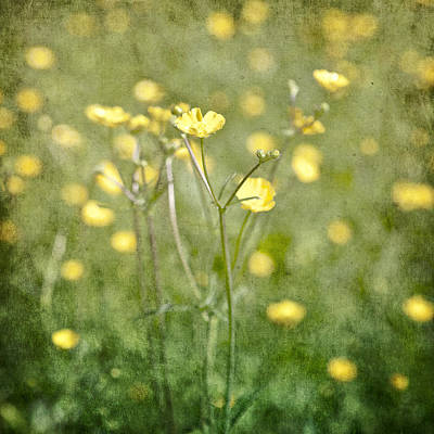 Buttercup Photograph - Flower Of A Buttercup In A Sea Of Yellow Flowers by Joana Kruse