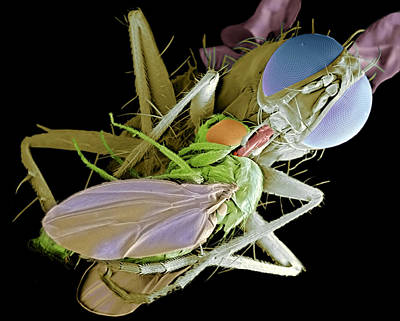 Eating Entomology Photograph - Fly Eating Another Fly, Sem by Volker Steger
