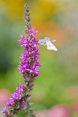 Flying Butterfly Print by Melanie Viola