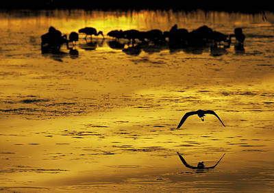 Flying Home - Florida Wetlands Wading Birds Scene Print by Rob Travis