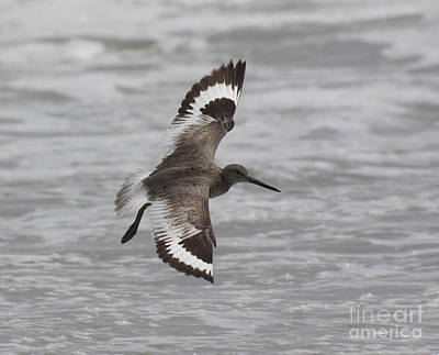 Flying Willet Print by Chris Hill
