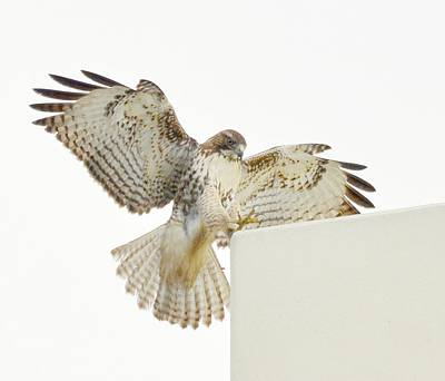Red Tail Hawk Photograph - Forced Landing 2 by Fraida Gutovich